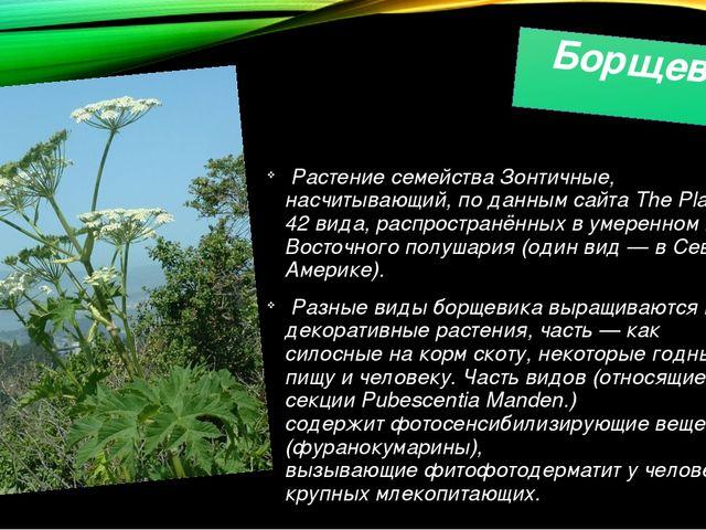Борщевик Растение семействаЗонтичные, насчитывающий, по данным сайтаThe Pla...