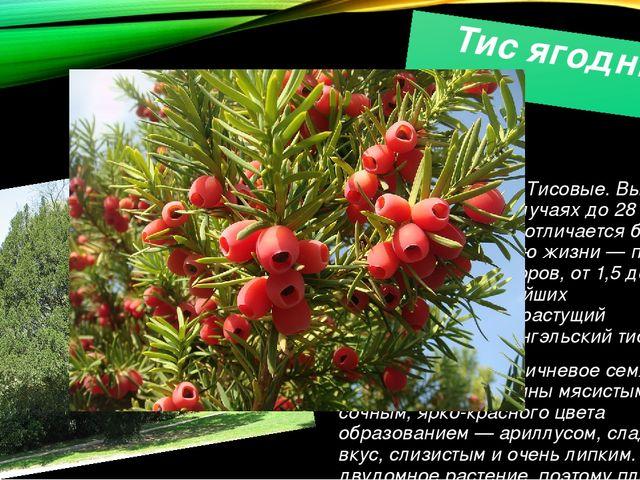 Тис ягодный Виддеревьев родаТиссемействаТисовые. Высота 10—20м, в отдел...