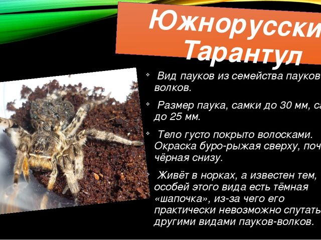 Южнорусский Тарантул Вид пауков из семейства пауков-волков. Размер паука, сам...
