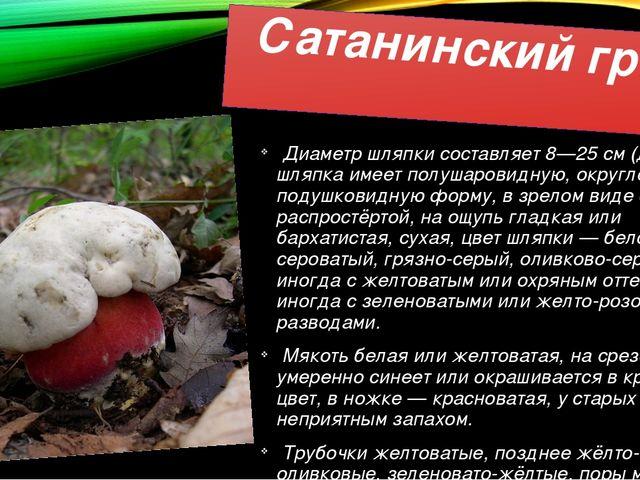 Сатанинский гриб Диаметр шляпки составляет 8—25 см (до 30 см), шляпка имеет п...