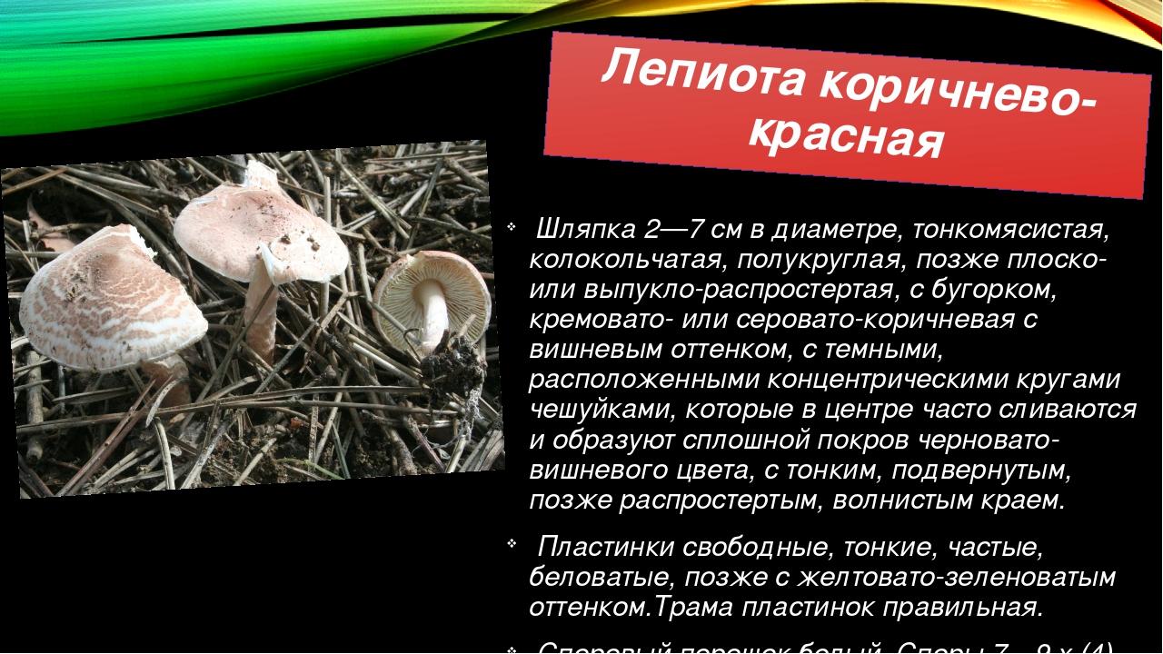 Лепиота коричнево-красная Шляпка 2—7 см в диаметре, тонкомясистая, колокольча...