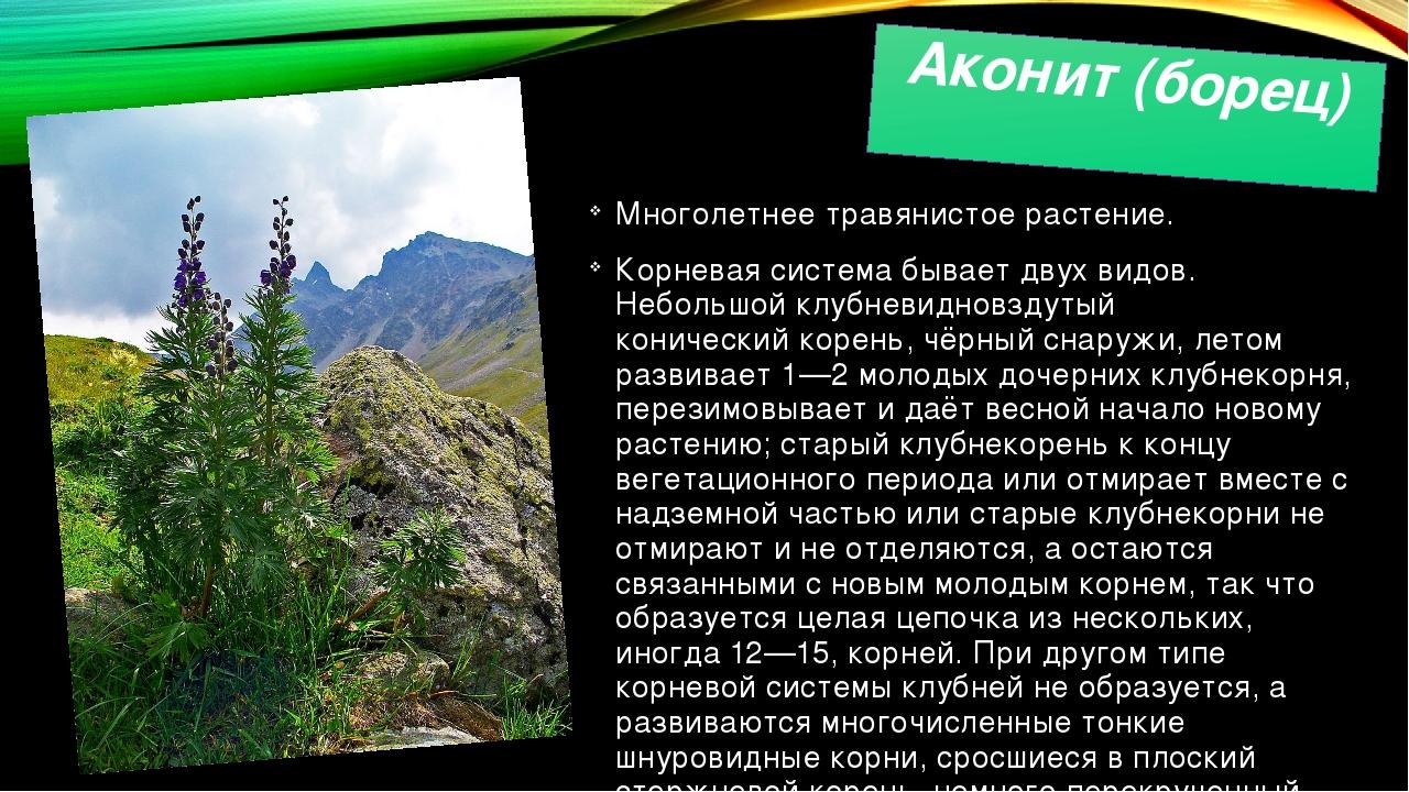 Аконит (борец) Многолетнее травянистое растение. Корневая система бывает двух...