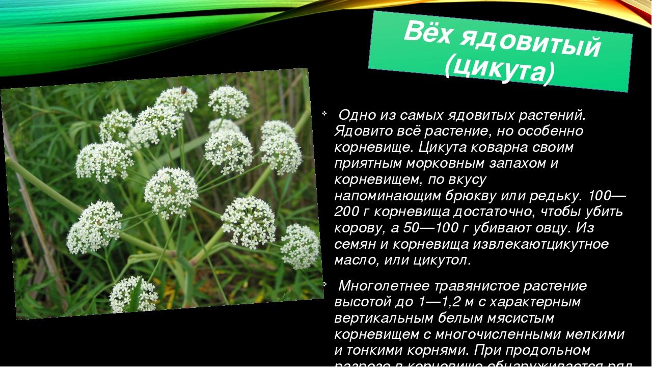 Вёх ядовитый (цикута) Одно из самых ядовитых растений. Ядовито всё растение,...