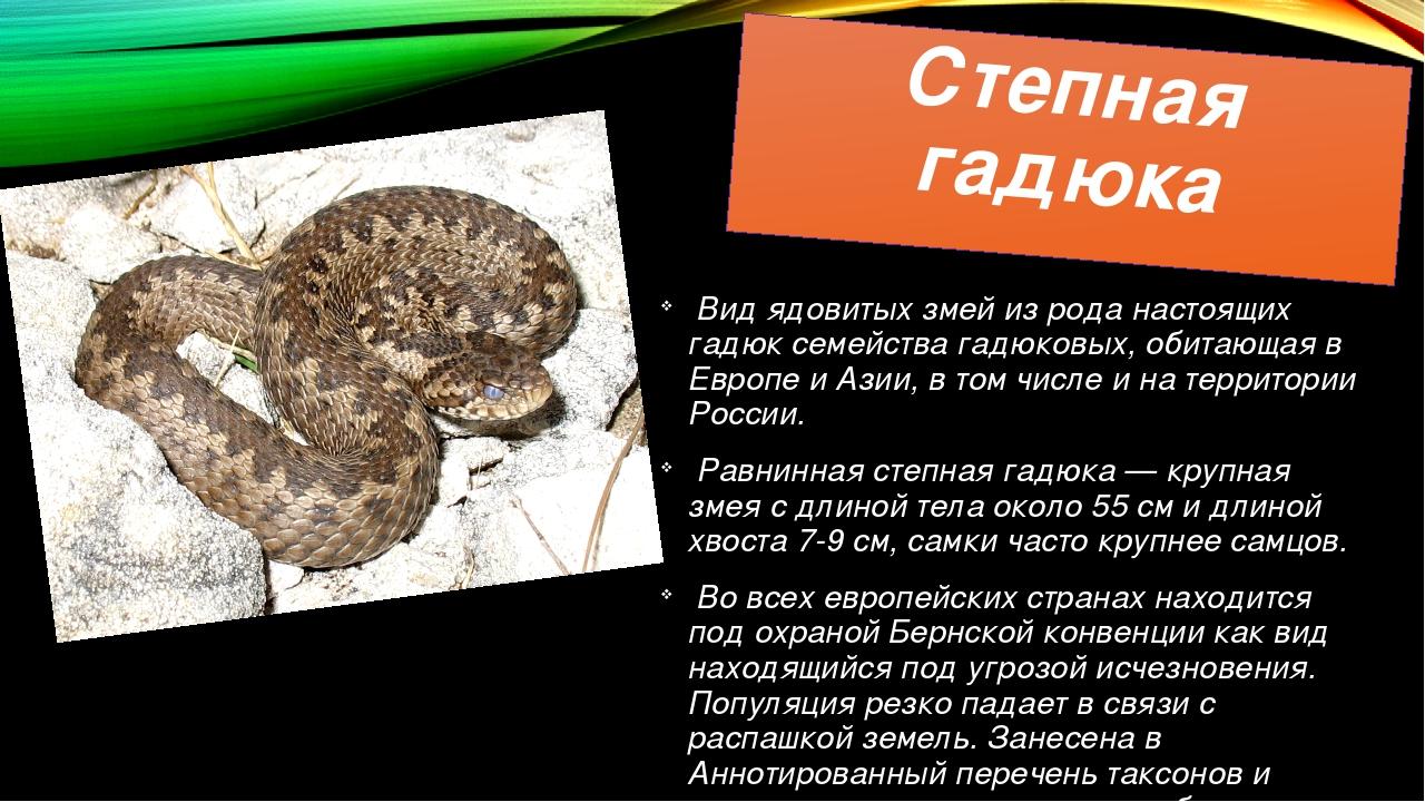Степная гадюка Вид ядовитых змей из рода настоящих гадюк семейства гадюковых,...