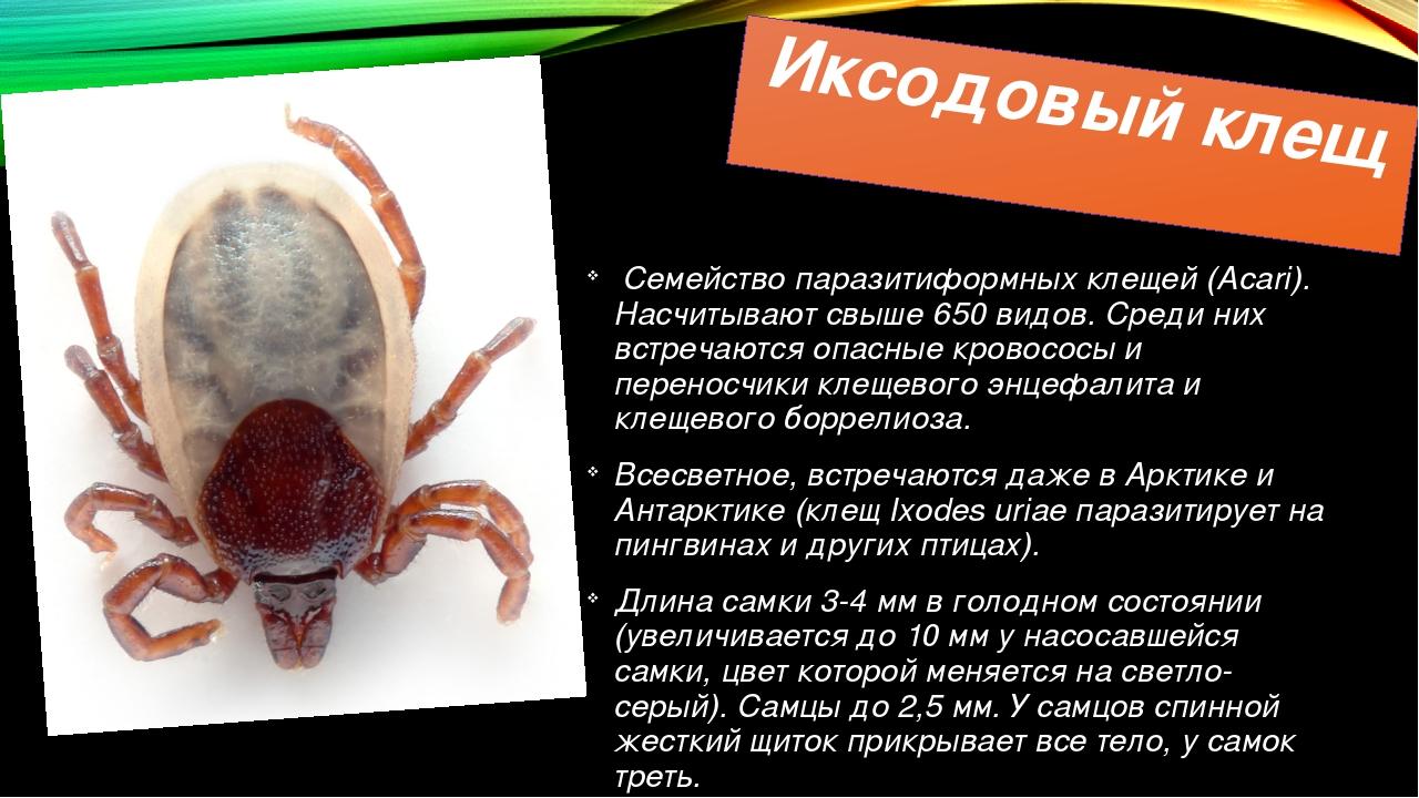 Иксодовый клещ Семейство паразитиформных клещей (Acari). Насчитывают свыше 65...