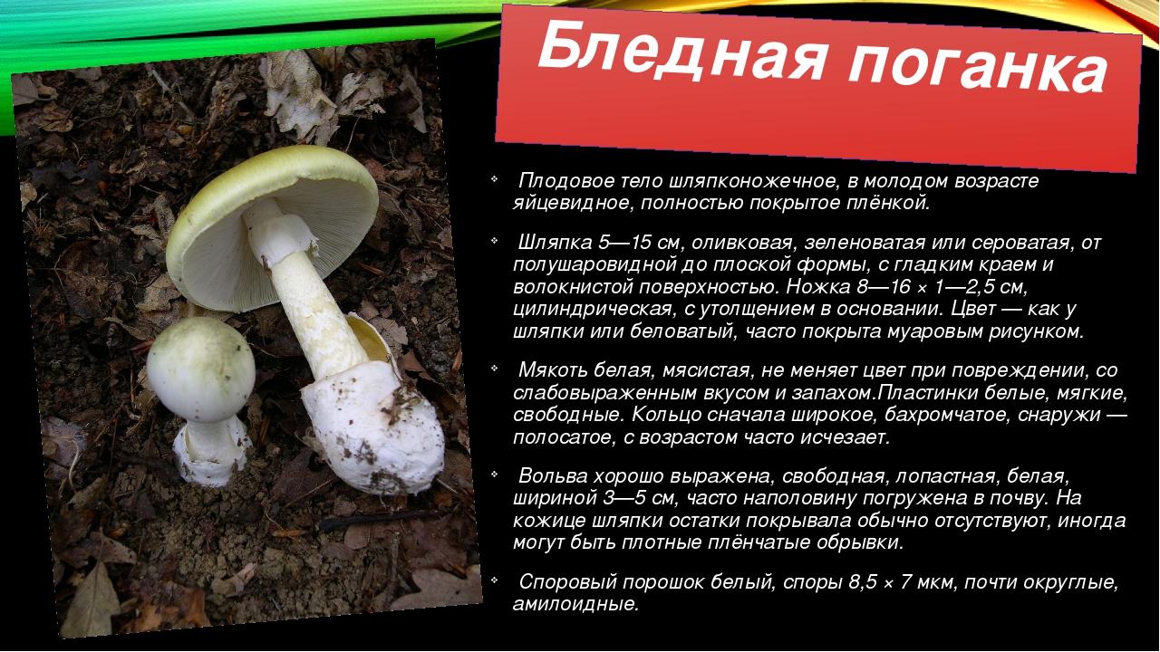 Бледная поганка Плодовое тело шляпконожечное, в молодом возрасте яйцевидное,...