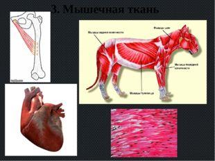 3. Мышечная ткань