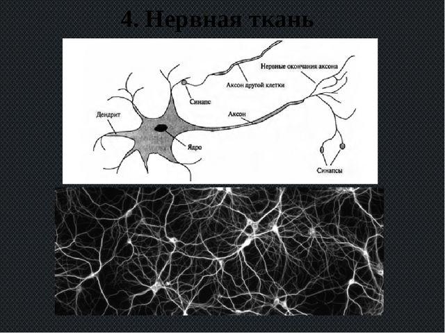 4. Нервная ткань