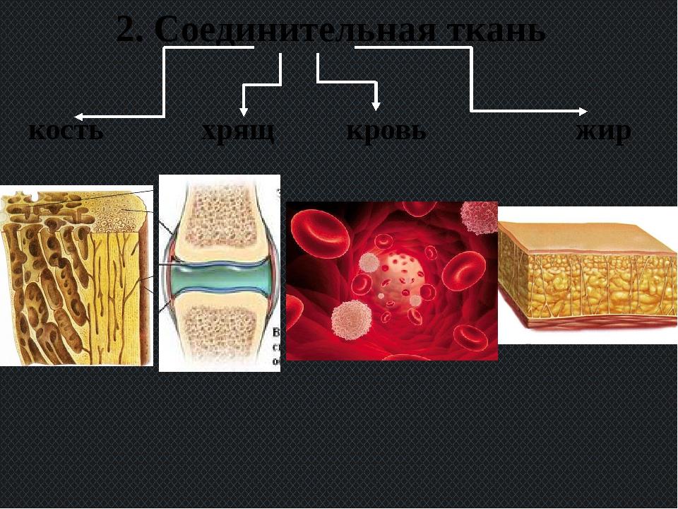 2. Соединительная ткань кость хрящ кровь жир