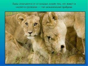 Львы отличаются от остальных кошек тем, что живут и охотятся группами — так н