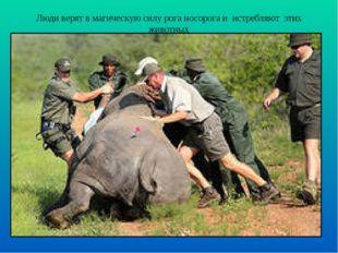 Люди верят в магическую силу рога носорога и истребляют этих животных