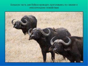 Большую часть дня буйвол проводит, прогуливаясь по саванне в относительном сп