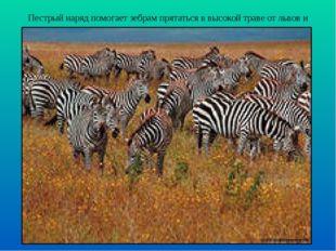 Пестрый наряд помогает зебрам прятаться в высокой траве от львов и гиен