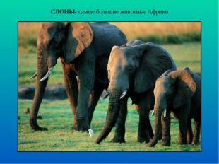 СЛОНЫ- самые большие животные Африки