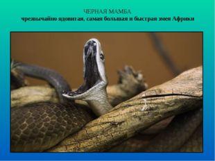 ЧЕРНАЯ МАМБА чрезвычайно ядовитая, самая большая и быстрая змея Африки