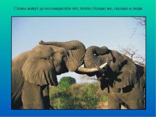Слоны живут до восьмидесяти лет, почти столько же, сколько и люди