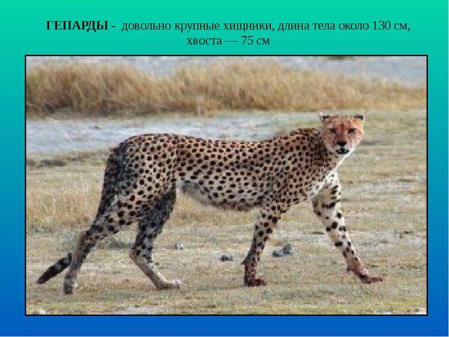 ГЕПАРДЫ - довольно крупные хищники, длина тела около 130 см, хвоста — 75 см