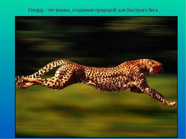Гепард - это кошка, созданная природой для быстрого бега
