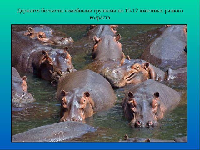 Держатся бегемоты семейными группами по 10-12 животных разного возраста
