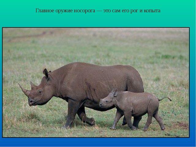 Главное оружие носорога — это сам его рог и копыта