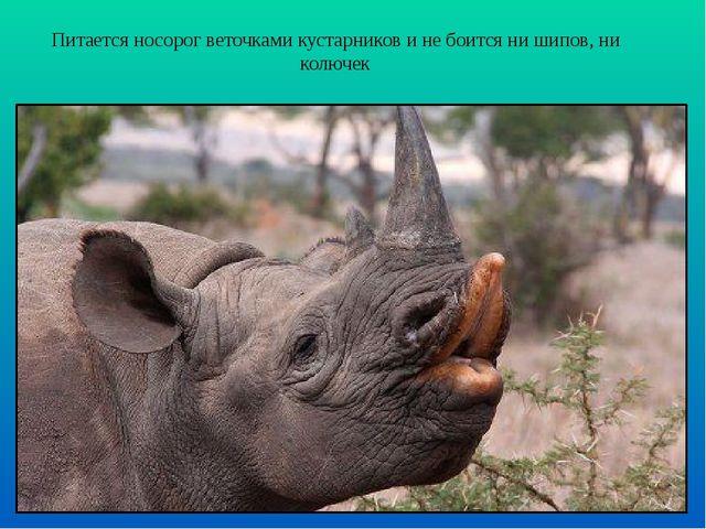 Питается носорог веточками кустарников и не боится ни шипов, ни колючек