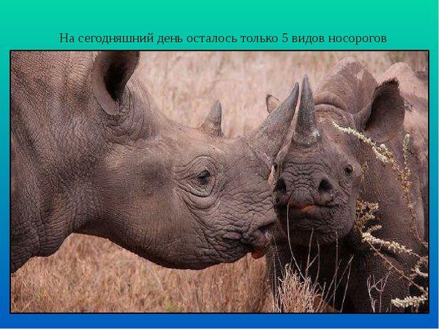 На сегодняшний день осталось только 5 видов носорогов
