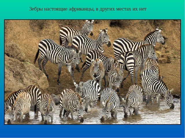 Зебры настоящие африканцы, в других местах их нет