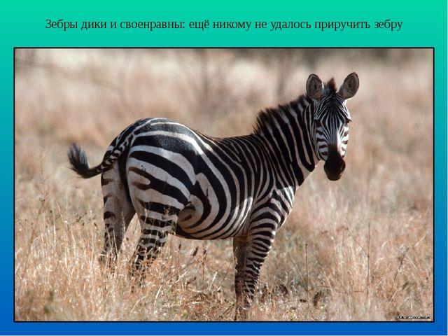 Зебры дики и своенравны: ещё никому не удалось приручить зебру