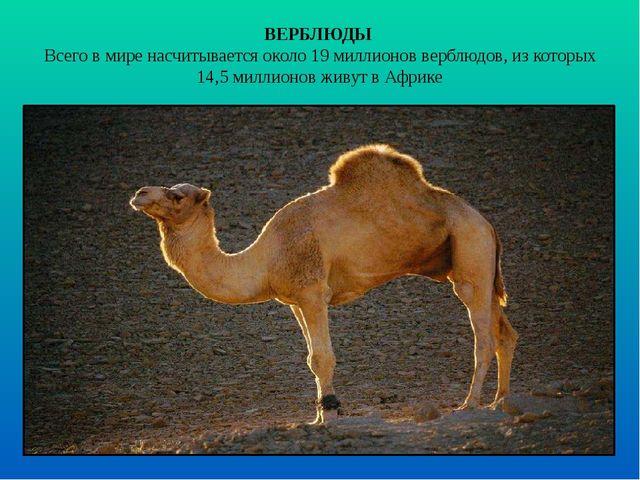 ВЕРБЛЮДЫ Всего в мире насчитывается около 19 миллионов верблюдов, из которых...