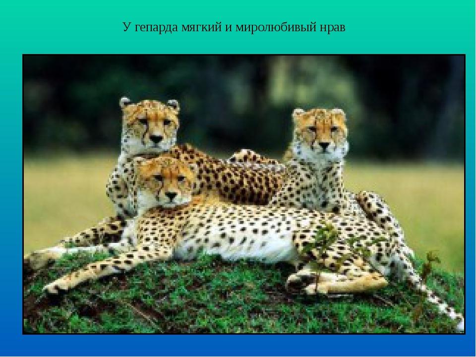 У гепарда мягкий и миролюбивый нрав