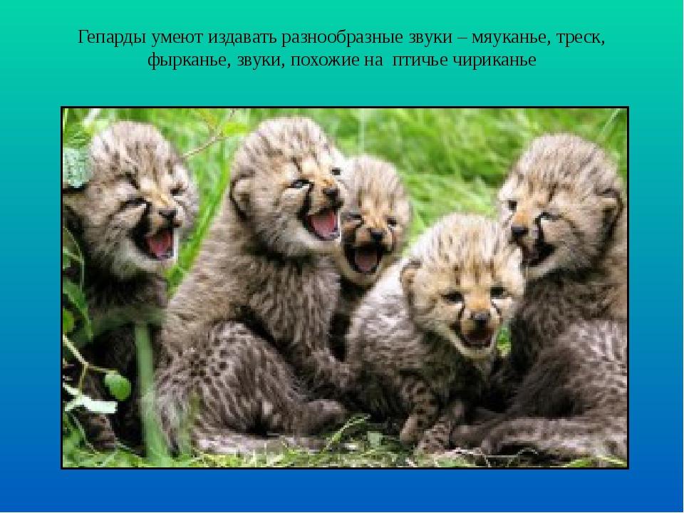 Гепарды умеют издавать разнообразные звуки – мяуканье, треск, фырканье, звуки...