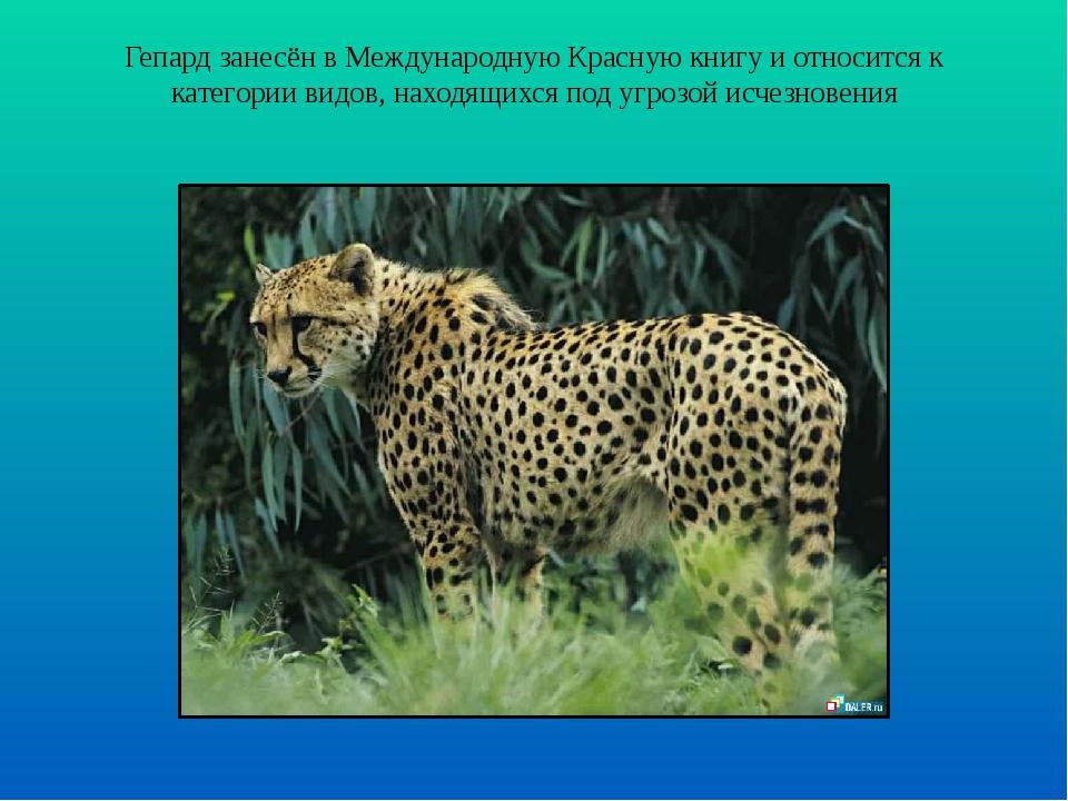 Гепард занесён в Международную Красную книгу и относится к категории видов, н...