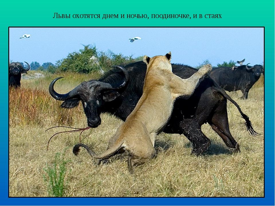 Львы охотятся днем и ночью, поодиночке, и в стаях