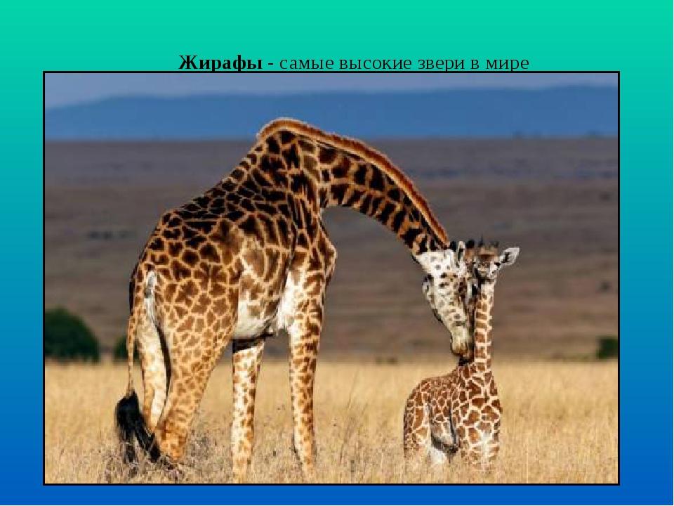 Жирафы - самые высокие звери в мире