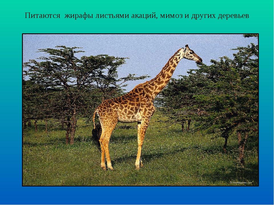 Питаются жирафы листьями акаций, мимоз и других деревьев