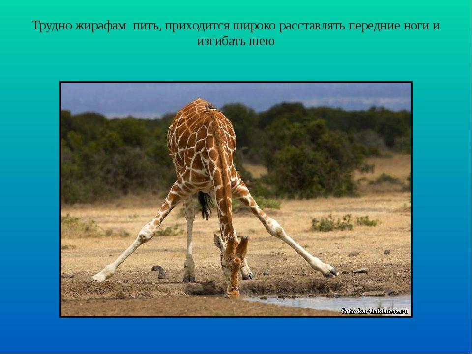 Трудно жирафам пить, приходится широко расставлять передние ноги и изгибать шею