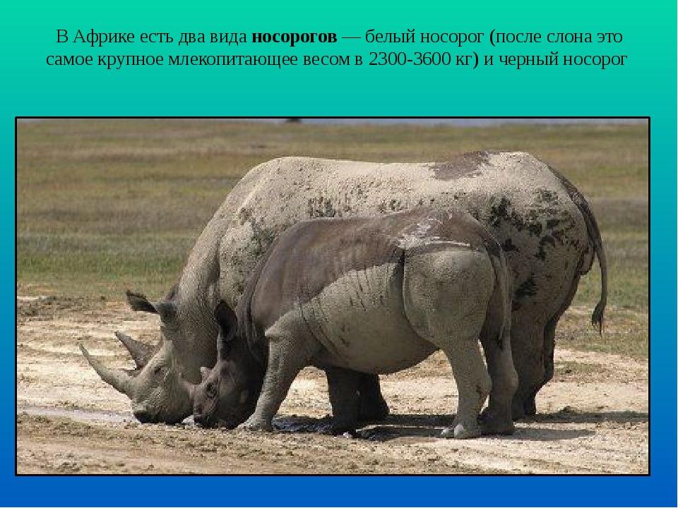 В Африке есть два вида носорогов — белый носорог (после слона это самое крупн...