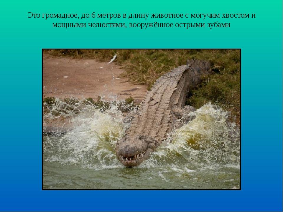 Это громадное, до 6 метров в длину животное с могучим хвостом и мощными челюс...