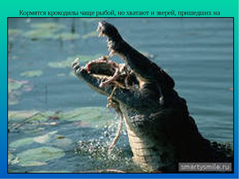 Кормятся крокодилы чаще рыбой, но хватают и зверей, пришедших на водопой