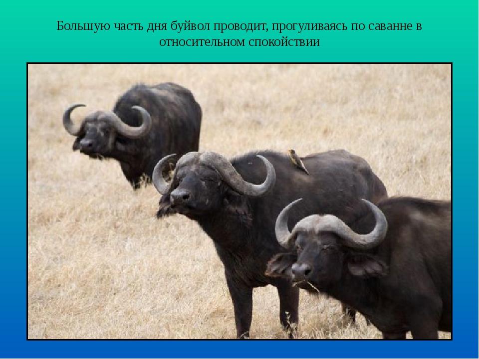Большую часть дня буйвол проводит, прогуливаясь по саванне в относительном сп...