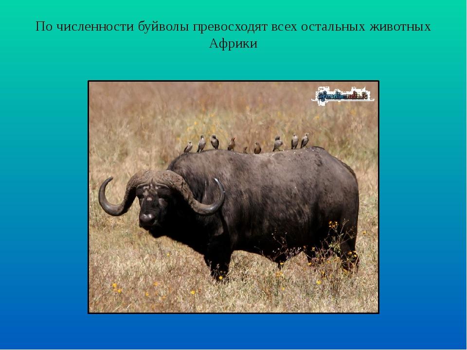 По численности буйволы превосходят всех остальных животных Африки