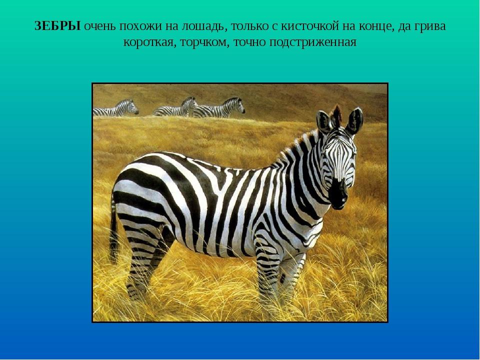 ЗЕБРЫ очень похожи на лошадь, только с кисточкой на конце, да грива короткая,...