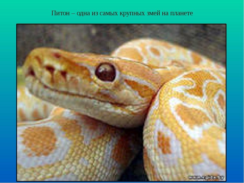Питон – одна из самых крупных змей на планете