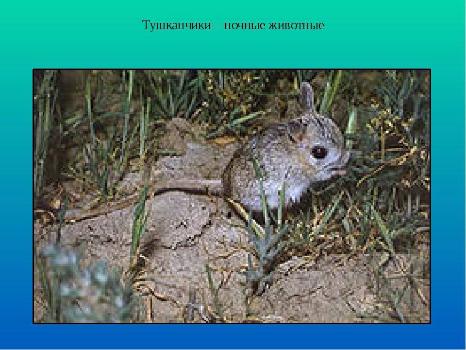 Тушканчики – ночные животные