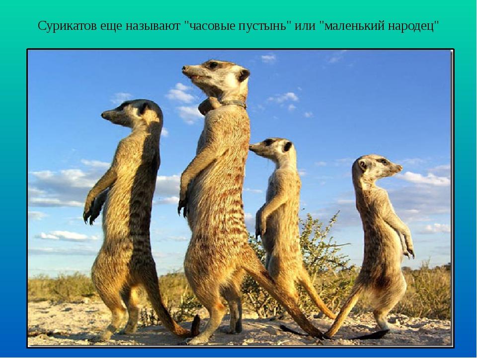 """Сурикатов еще называют """"часовые пустынь"""" или """"маленький народец"""""""