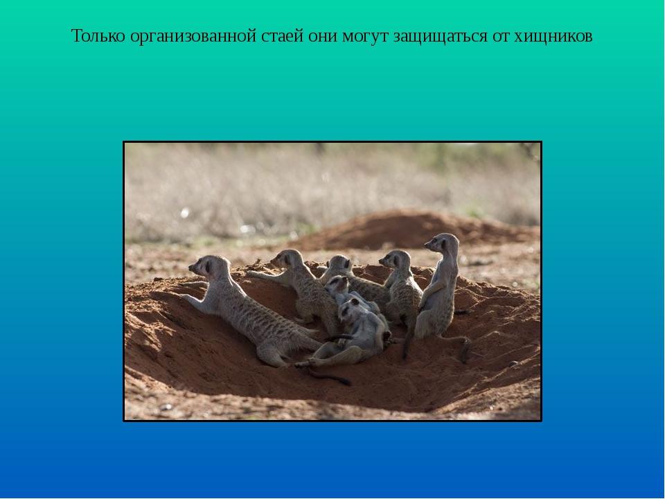 Только организованной стаей они могут защищаться от хищников