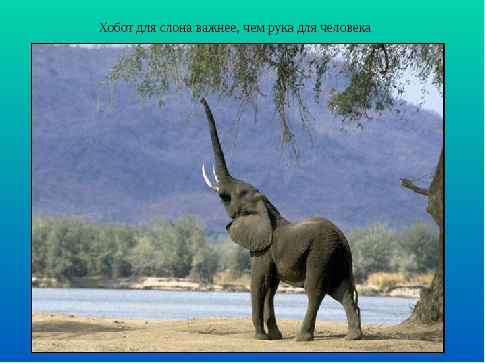 Хобот для слона важнее, чем рука для человека