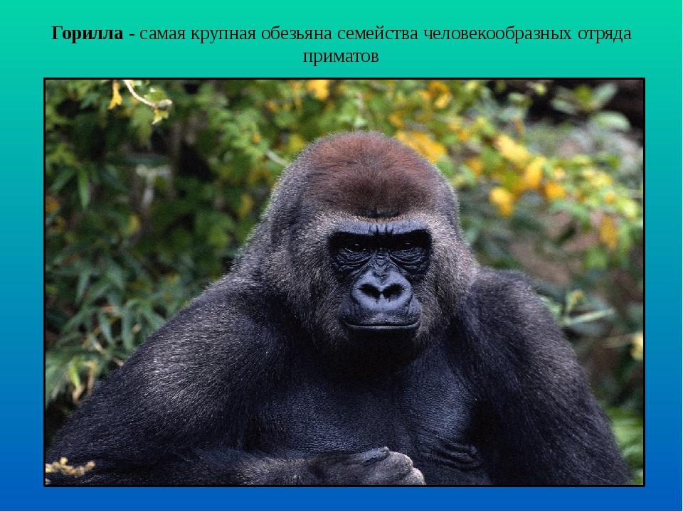 Горилла - самая крупная обезьяна семейства человекообразных отряда приматов