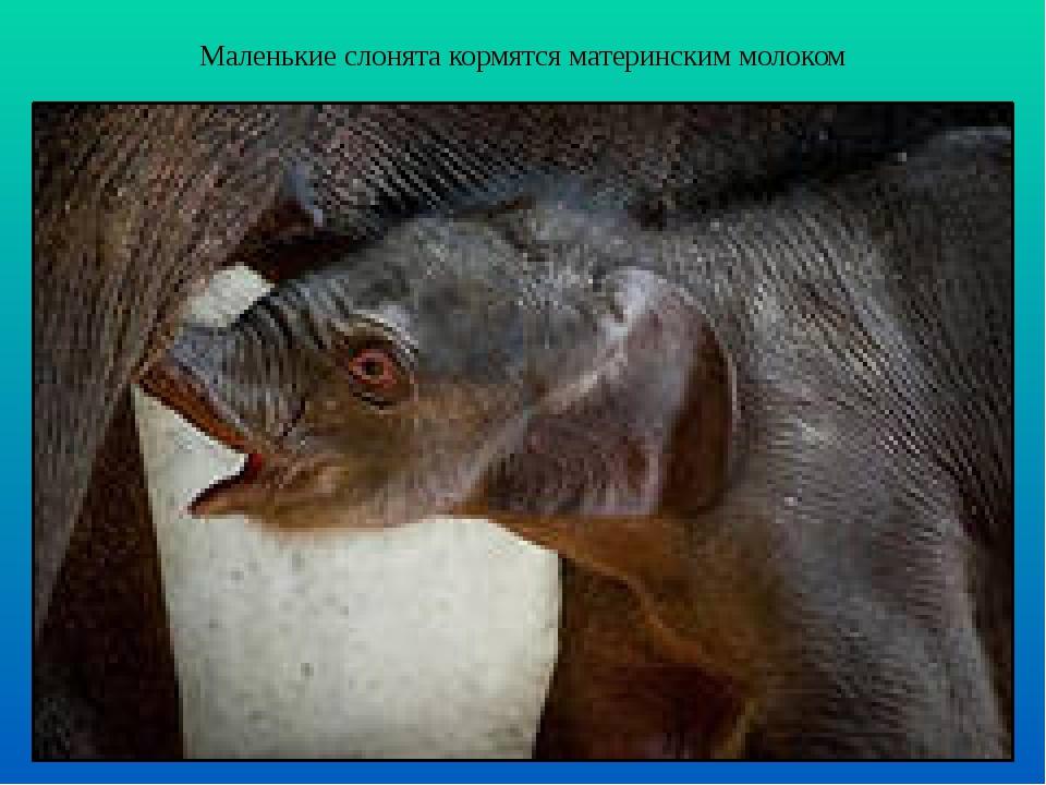 Маленькие слонята кормятся материнским молоком
