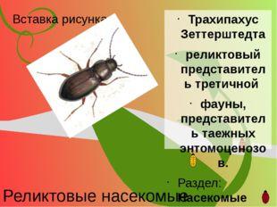 Реликтовые насекомые Трахипахус Зеттерштедта реликтовый представитель третичн